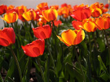 Tulips Blowing in the Breeze