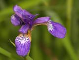 Dainty Little Iris2.jpg