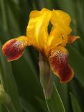 Springs First Iris.jpg