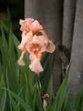 Peachy Iris.jpg