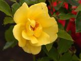 Yellow Tea Rose w Friend.jpg