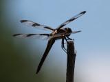 Dragonfly Blue Sky