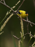 Gold Finch Eating_1