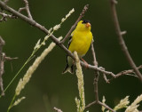Gold Finch_1
