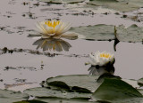 Grey Day Water Lillies