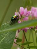 Shiny Green Bug