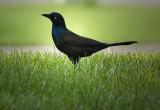 Pretty and Funny Grackle