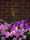 Summer Day Petunias