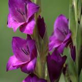 Purple Glads2