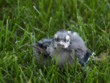 Two Little Baby Blue Jays