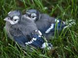 Very Tiny Blue Jay Babies