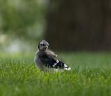 Little Blue Jay