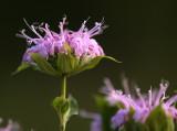 Pale Purple Passion