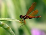 Damsel Fly (?)