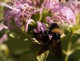 Fav Bumble Bee