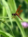 Tiny Red Dragonfly (?)