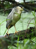 Black Crowned Night Heron in the Pouring Rain