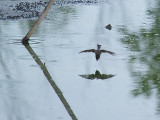 Diving Swallow