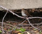 Chubby Little Sparrow