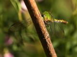 Twig Kissing Dragonfly