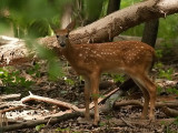 Another Fawn Spotting-no pun intended
