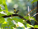 Best Research Result-American Redstart
