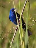 Indigo Bunting Gorgeous Bird