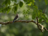 Juvenile Blue Bird