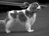 Beautiful King Charles Spaniel