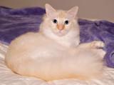 Milo the FooFoo Cat