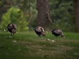 Trio Of Turkeys