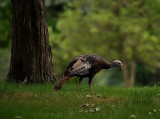 Turkey N the Tree