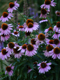 Purple and Rust Daisy Type Flowers