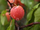 Wild Plum in the Rain