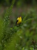 Goldfinch Has a Soggy Noggin'