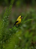 Goldfinch Soaking Wet