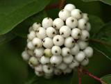 Wild White Berries