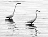 Egret Duo
