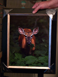 Deep Woods Doe framed