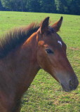 Young Thoroughbred Colt