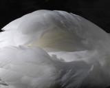 Le cygne blanc...
