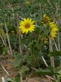 Flower of Somlo