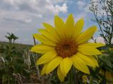 Flower of Somlo 5.
