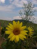 Flower of Somlo *J-.