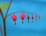 aa Bleeding Heart 01.jpg