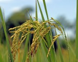 Rice Grains close up