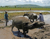 Water Buffalo plowing