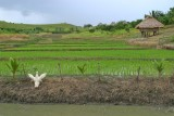igorot home next to rice farm.jpg