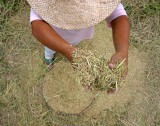 dropping palay for winnowing