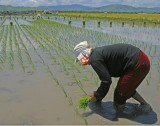 planting rice 01